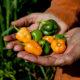 Fito mejoramiento y seguridad alimentaria