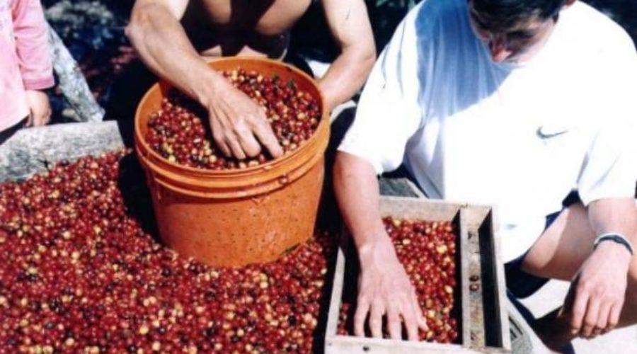 Café ecuatoriano: una historia con aroma de esperanza